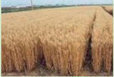 阜冬1号冬小麦新品种