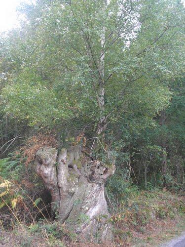 Biduerio encima dun castiñeiro