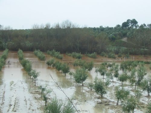 Olivares Inundados