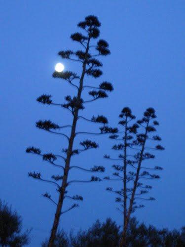 Teba. Camino al anochecer con flores de pitas y luna llena. Febrero de 2006