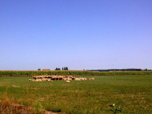 Rebaño de Ovejas cerca de San Millan de los Caballeros -- Región Leonesa