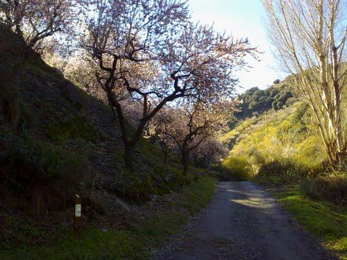 Cerca de Torvizcón, por un sendero precioso entre cultivos de almendros. Febrero de 2011