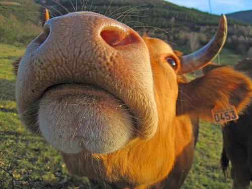 Morritos. (Serie Razas autóctonas de Galicia). Vacas de raza Rubia Galega