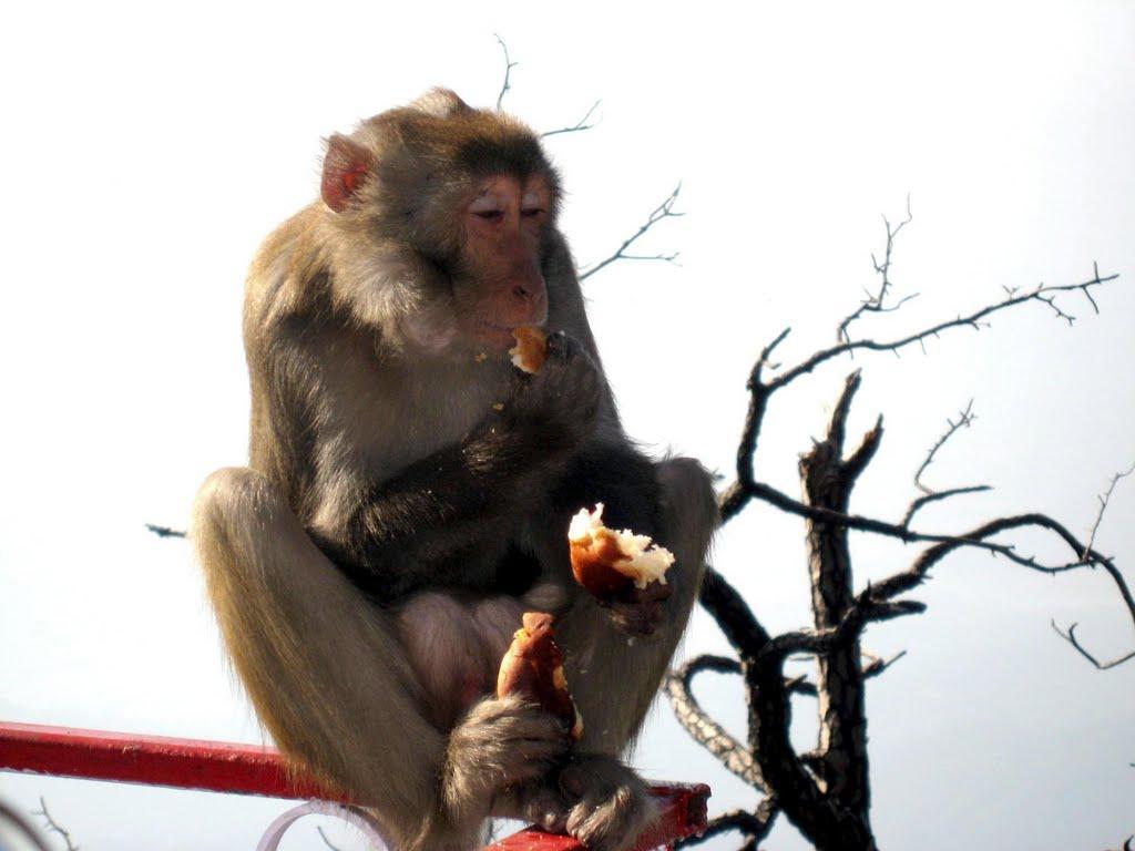 Monkey peacefully eating Bread