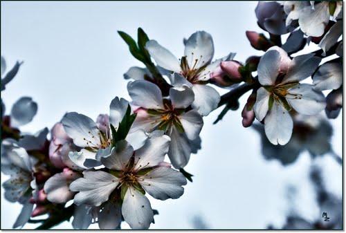 Flor de almendro  ( a 12 días de la PRIMAVERA) Para SamhainDanzig