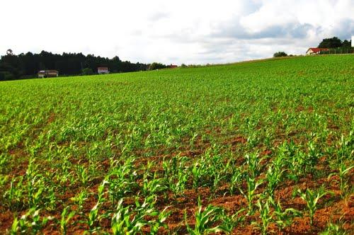 Campos de millo