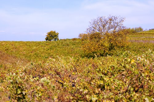 Way of St. James. Entre viñas en el otoño.
