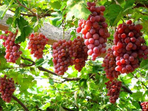 优质红提葡萄苗价格