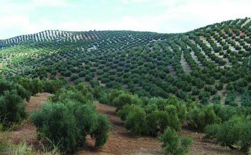 Cultivo de secano en Andalucia, campos de olivos