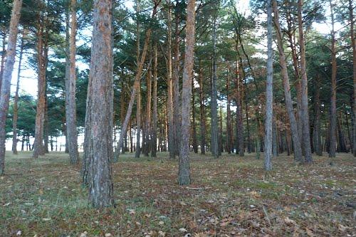 Pinar de pino silvestre y negral 03