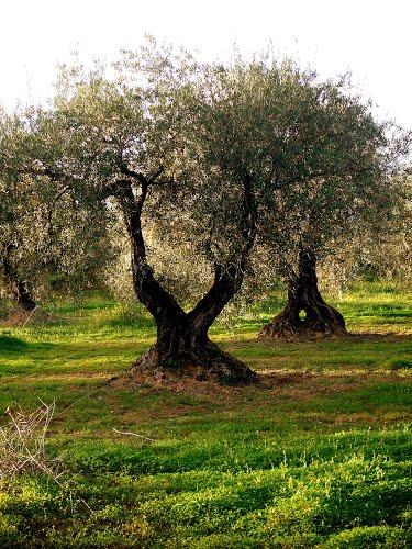 Viejos olivos al atardecer/Old olive trees (mejora en pantalla completa, better in full screen) )