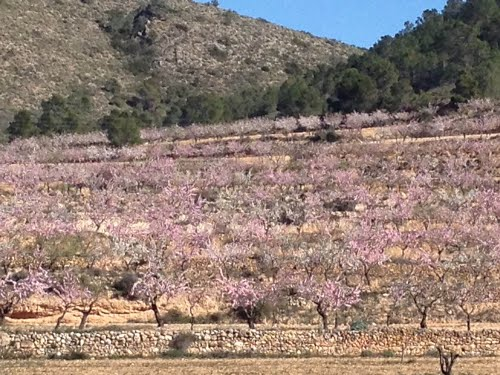 Pink Almond blossom near El Canton Alicante/Murcian border Feb 2013