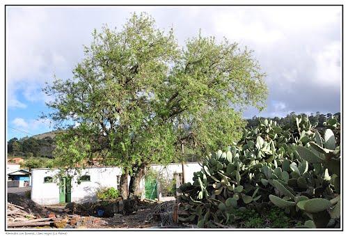 Almendro con Tuneras, Llano Negro (La Palma)