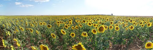 SUN FLOWERS IN CASTILLE - PANORAMIC