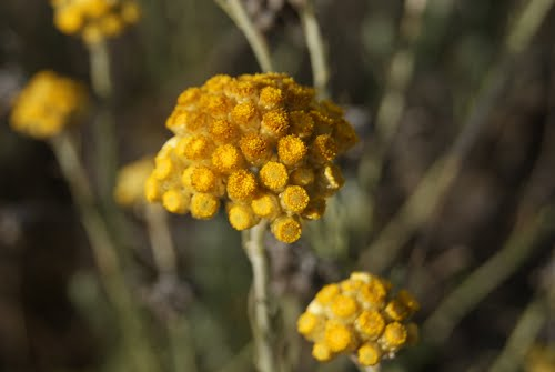 Perpetua (Helichrysum stoechas (L.) Moench)