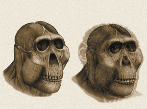 A reconstruction of the head of Paranthropus boisei, based on a skull found at Olduvai Gorge, Tanzania, in 1959 by Mary Leakey. Initial analysis of the skull and fossilized teeth led scientists to think this ancestor ate nuts. More advanced analysis in later years revealed that a more diverse diet that included grasses.