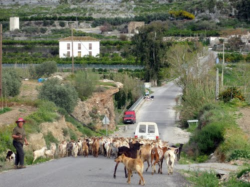 Goats on the road. Fuente Marbella, Spain