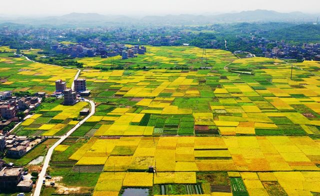 【航拍】秋满金黄 美轮美奂的茂名稻田!