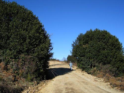 camino entre acebos, Vereda de Casla, Dehesa Boyal de Robregordo, 2010.