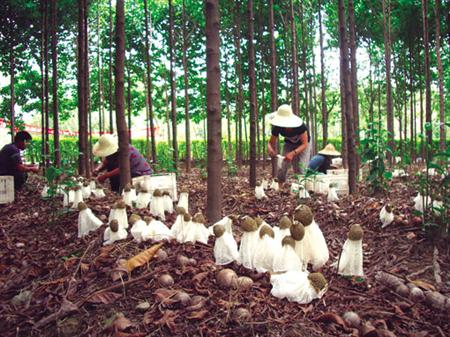 竹荪种植:竹荪怎么样能高产?