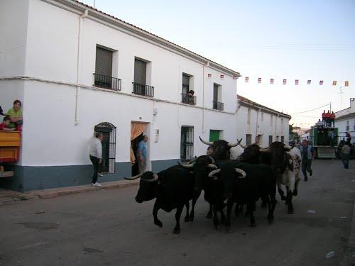 Suelta de Vaquillas. Povedilla. Albacete