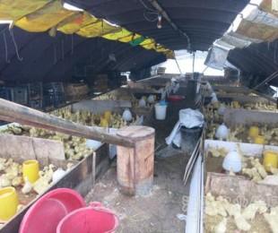 新干县畜牧局开展肉鹅生产情况调查