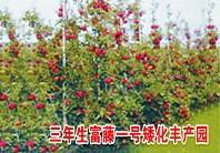 富藤1号苹果苗