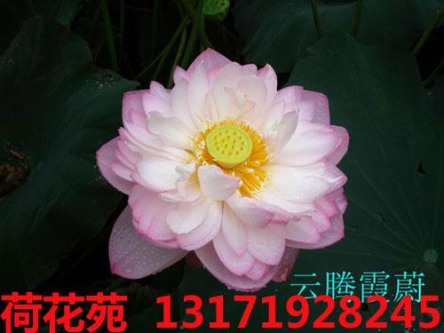 云腾霞慰精品荷花苗,北京荷花种植基地
