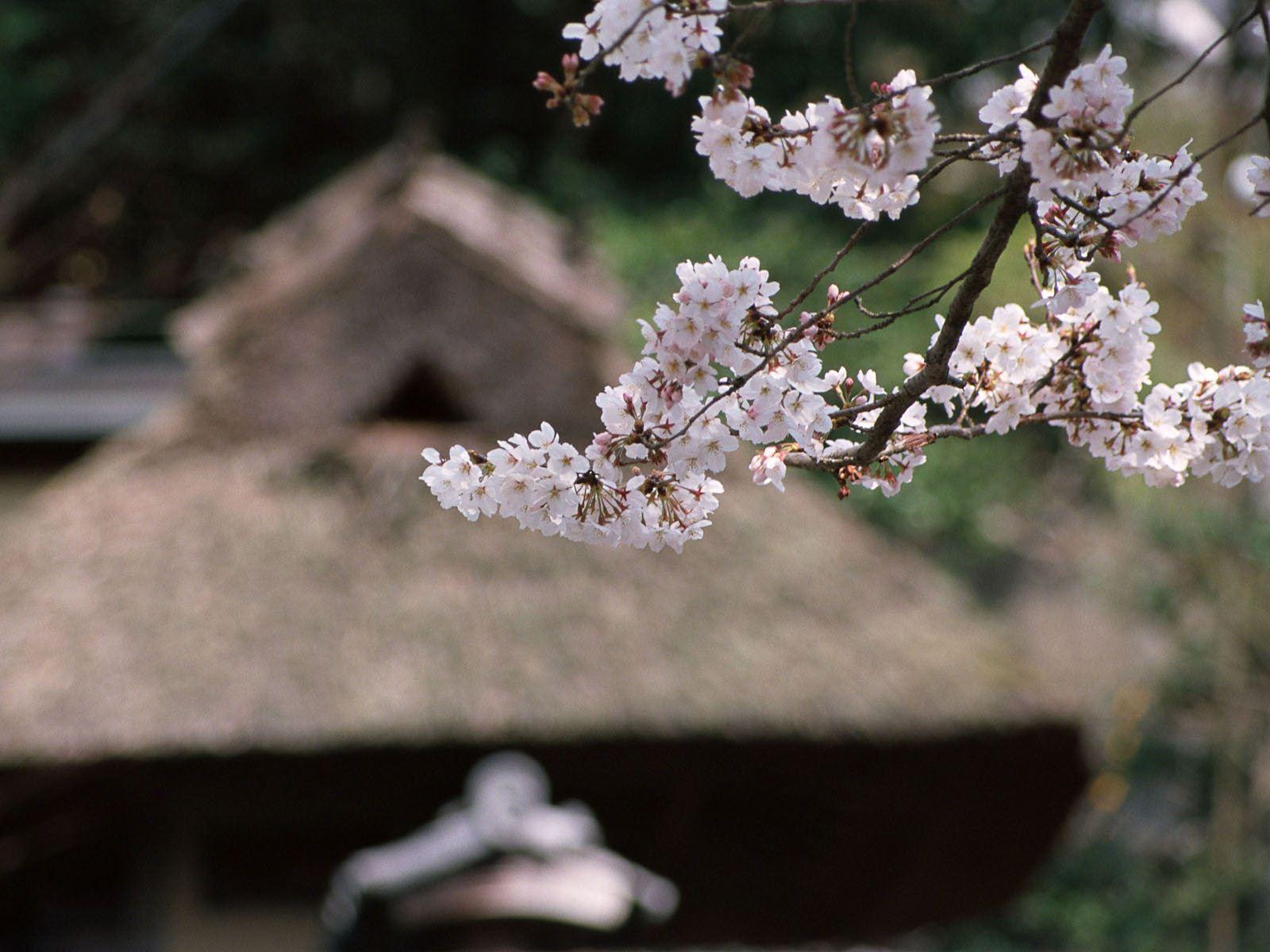 唯美的高清樱花 背景图片素材