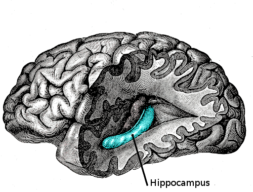 L'hippocampe est une aire cérébrale qui ressemble vaguement à un cheval de mer, et représente le quartier général des systèmes interdépendants de stimuli, de récompenses et d'addiction (© Wikimedia Commons)