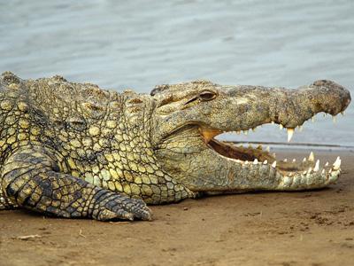 海南鳄鱼苗供应
