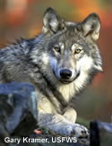 Closeup photo of Gray Wolf looking intently at the camera.