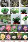 暴利 四季碗莲种子 室内庭院水培植物睡莲 荷花种子