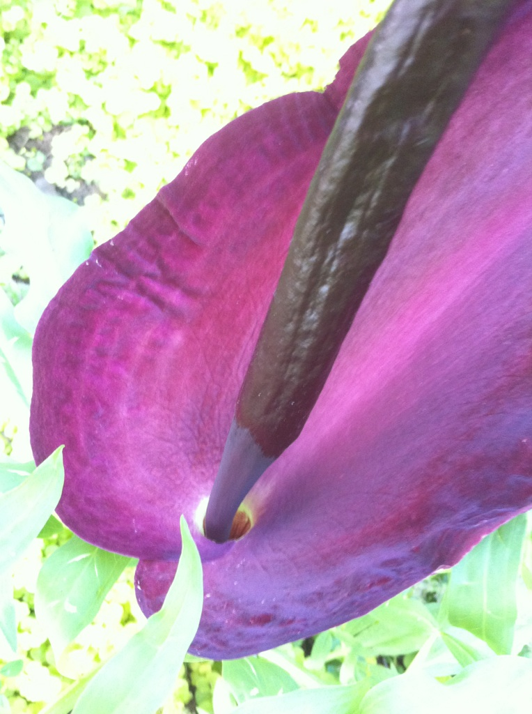 Dragon Arum Flower Up Close