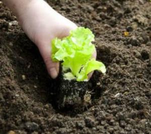 plantio de alface organico