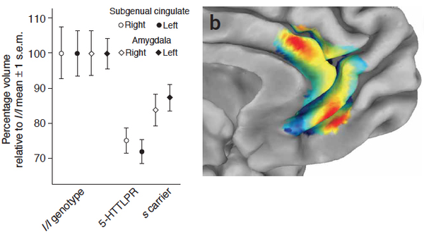 5-HTTLPR polymorphism impacts human cingulate-amygdala interactions: a genetic susceptibility mechanism for depression