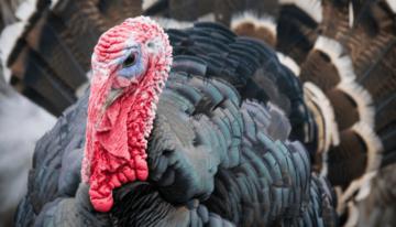 Maryland Thanksgiving Turkey
