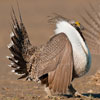 Aggressive Sage Grouse with Breeding Plumage