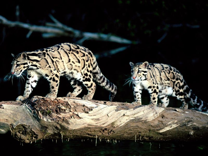 Clouded Leopard Image