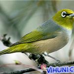 Tiếng chim vành khuyên líu mp3 hót hay nhất tải về để bẫy