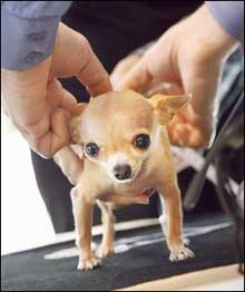 chihuahua with veterinarian