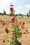 夏日红红枫