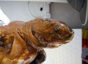 The head and upper body of a Kemp's Ridley sea turtle covered in oil.