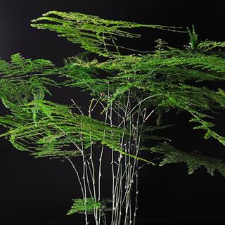 文竹(Asparagus setaceus)