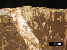 Brown and yellow image with oval and long thin areas representing the fossilised remains