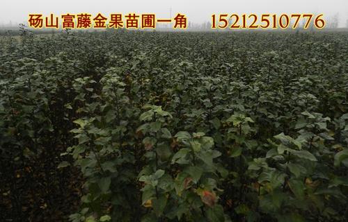 安徽苹果苗销售基地