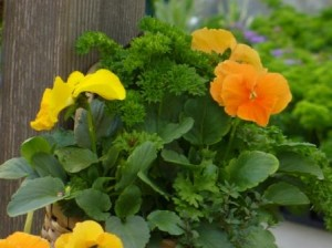 Cheerful yellow and orange pansies with curly parsley in a basket.