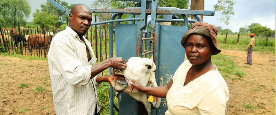 Gilbert Mpofu and Sizi Ndlovu check the health of their cattle's gums. USAID promotes good livestock management practices as par