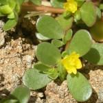 Verdolagas Portulaca oleracea