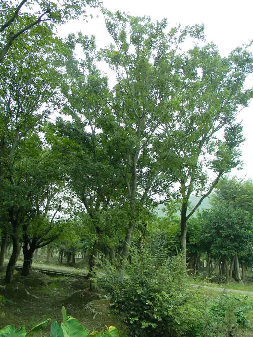 大朴树价格,朴树价格供应,朴树价格资料